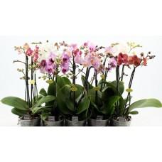 Орхидея фаленопсис мини 35 см