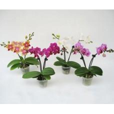 Орхидея фаленопсис мини 25 см