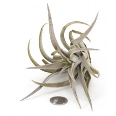 Tillandsia Harrisii Big