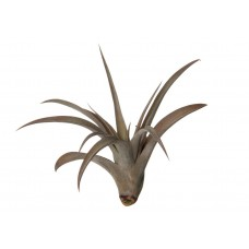 Tillandsia Capitata Peach Red Big